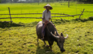 Bonde ridder på vandbøffel i Hoi An i Vietnam