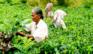 Lokale damer plukker te i teplantager