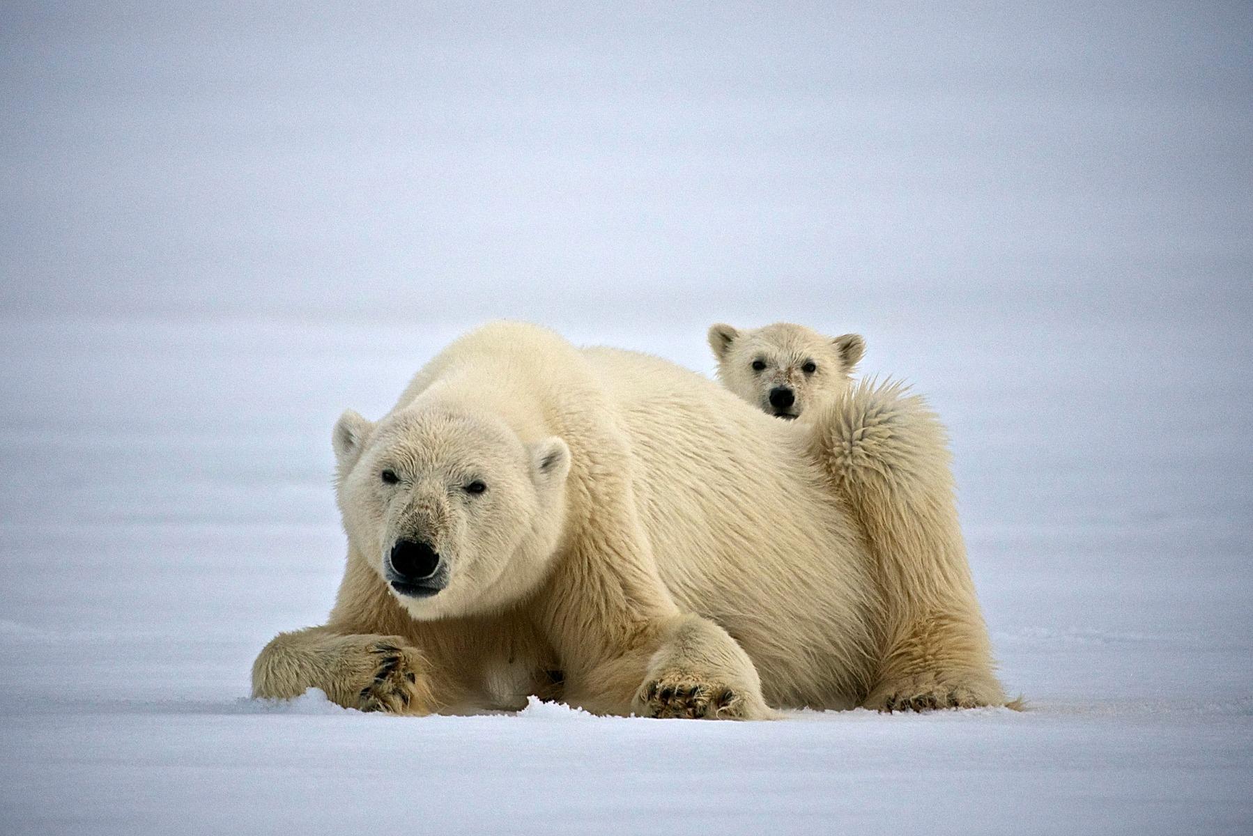 Isbjørn og dens unge