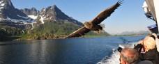 Havørnesafari ved Lofoten - Hurtigruten - Ruby Rejser