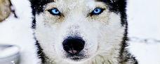 Hundeslædetur eksklusiv