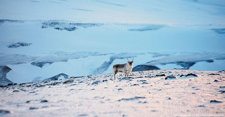Svalbardren i vildmarken