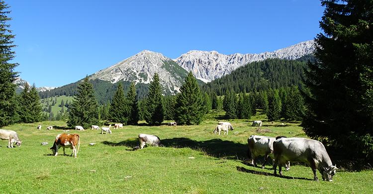 Køer i de tyske alper