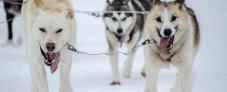 Hundeslædekørsel i Kirkenes - Hurtigruten - Ruby Rejser