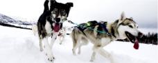 Hundeslædekørsel i Tromsø - Hurtigruten - Ruby Rejser