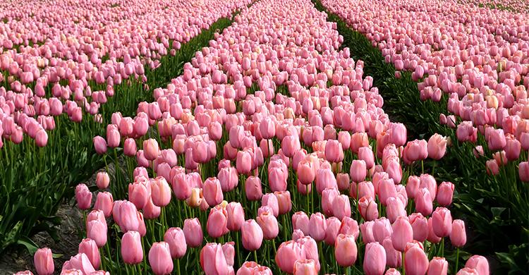 Tulipanmark i Holland