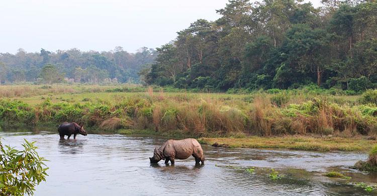 Næsehorn står og får vand i flod